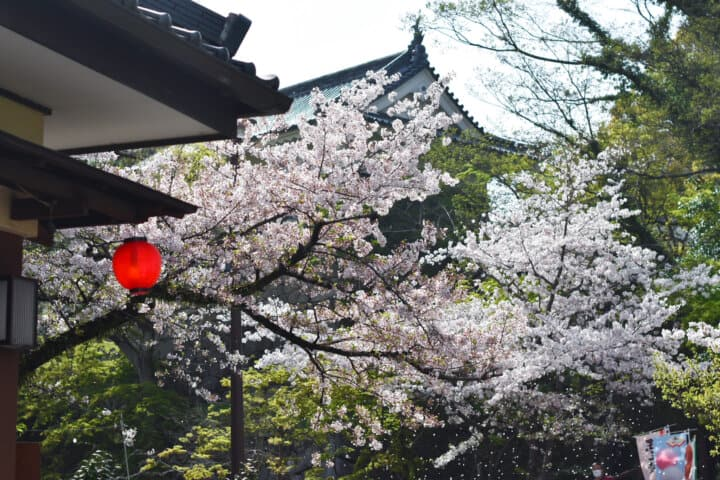 cherry blossoms at okazaki castle 2021